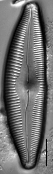 Cymbopleura edlundii LM6