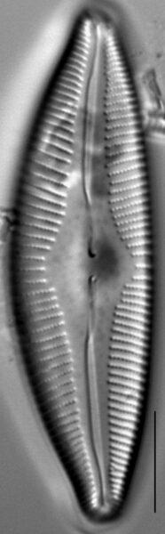 Cymbopleura edlundii LM7
