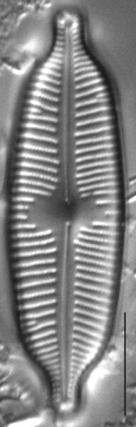 Cymbopleura elliptica LM6