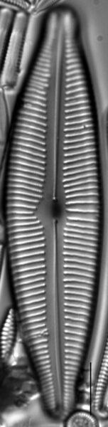 Cymbopleura lata LM2