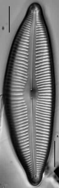 Cymbopleura lata LM3