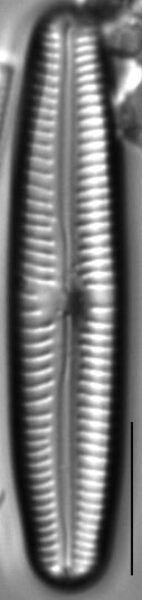 Cymbopleura oblongata LM4