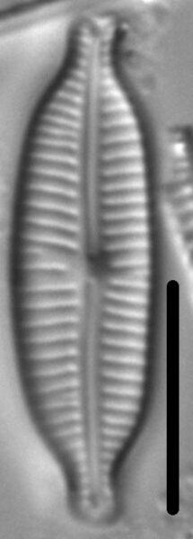 Cymbopleura amphicephala LM6