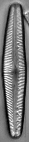 Cymbopleura florentina LM1
