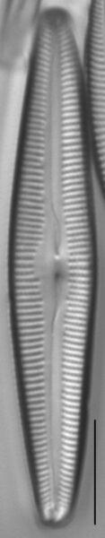 Cymbopleura florentina LM5