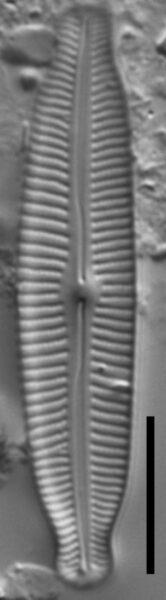 Cymbopleura linearis LM5