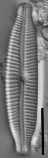 Cymbopleura linearis LM6