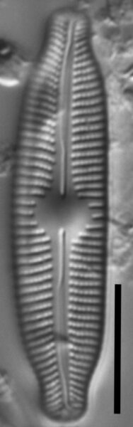 Cymbopleura linearis LM7