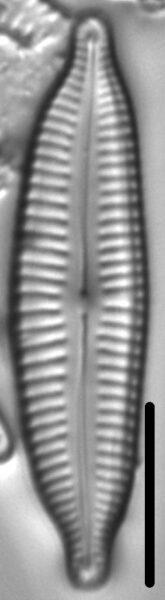 Cymbopleura frequens LM2