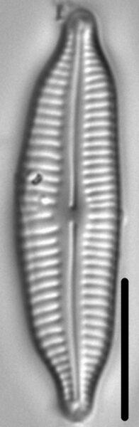 Cymbopleura frequens LM4