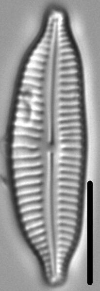 Cymbopleura frequens LM5