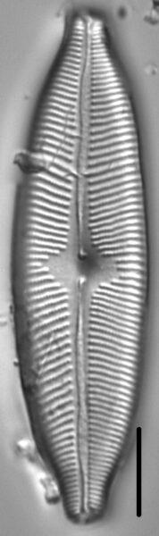 Cymbopleura tynnii LM3