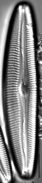 Cymbopleura anglica LM4