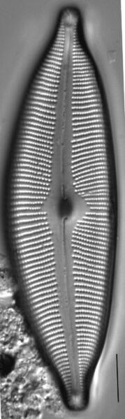 Cymbopleura subcuspidata LM3