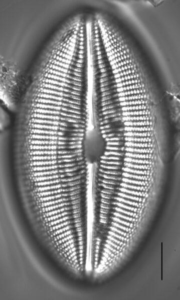 Diploneis finnica LM2