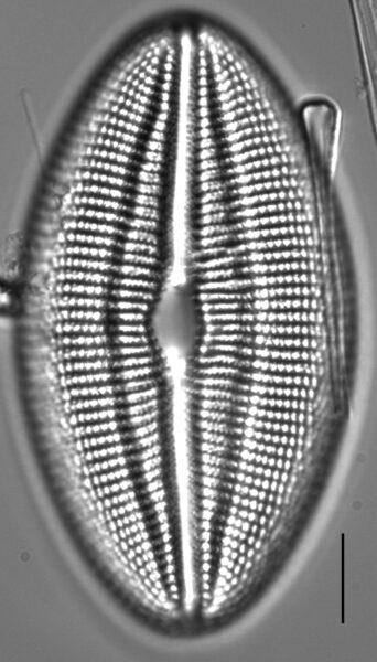 Diploneis finnica LM3