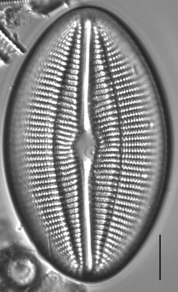 Diploneis finnica LM4