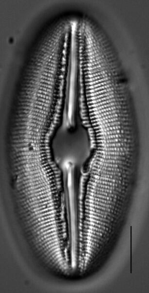 Diploneis Ovalis 1