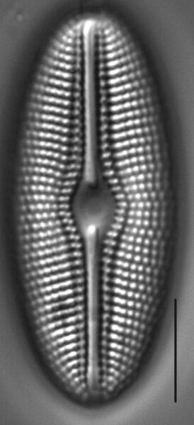 Diploneis krammeri LM4