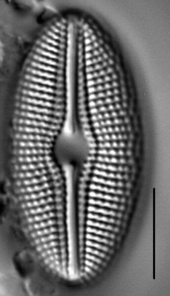 Diploneis krammeri LM6