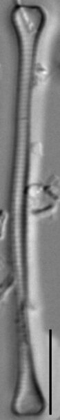 Euzasuminensis  Smm16212B 859 47 7