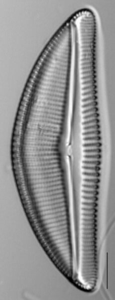 Encyonema latum LM3