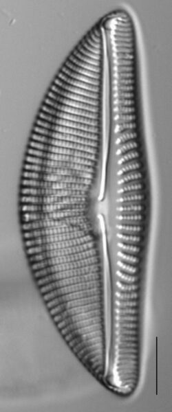 Encyonema latum LM4