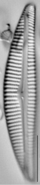 Encyonema pergracile LM4