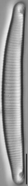 E Macroglossa 60 7R