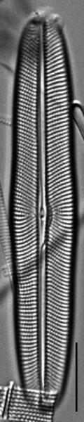 Envekadea metzeltinii LM2