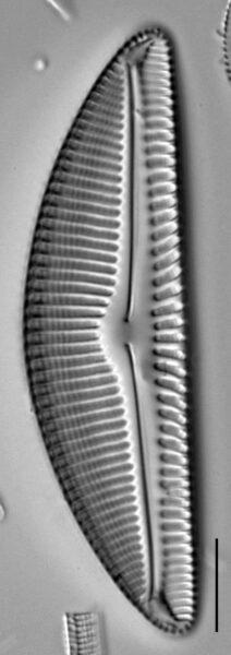Encyonema nicafei LM3