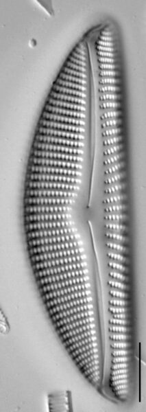 Encyonema nicafei LM4