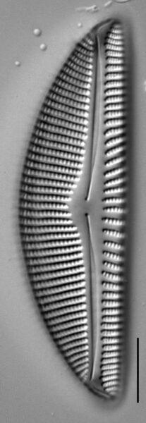 Encyonema nicafei LM5