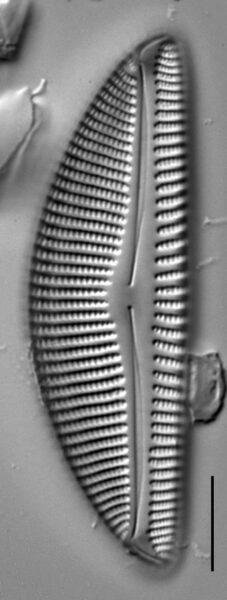 Encyonema nicafei LM6