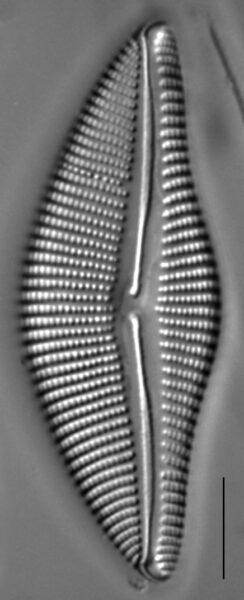 Encyonema temperei LM3