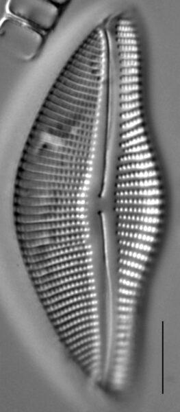Encyonema temperei LM4