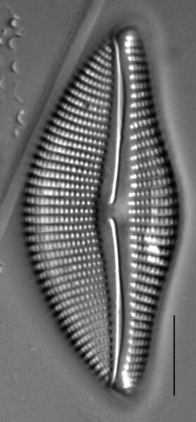 Encyonema temperei LM5