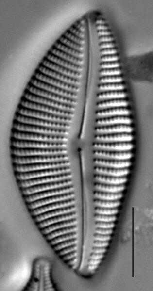 Encyonema temperei LM6