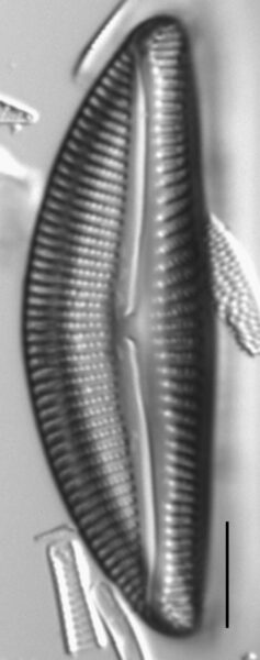 Encyonema yellowstonianum LM2