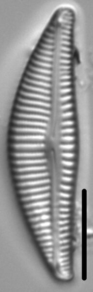 Encyonema lange-bertalotii LM1