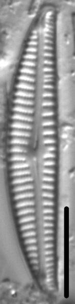 Encyonema neogracile LM4