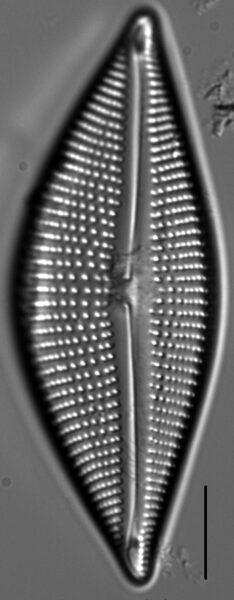 Encyonema triangulum LM2