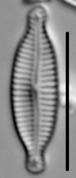 Encyonemopsis Microcephala 002