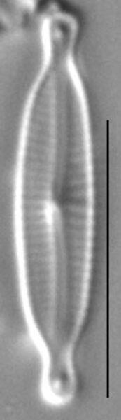 Encyonopsis Alpina 1