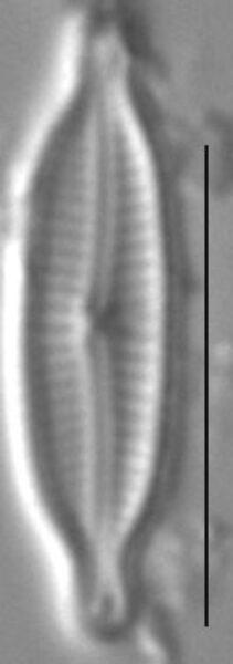 Encyonopsis Alpina 6