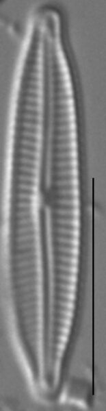Encyonopsis Anaconda5