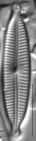 Encyonopsis Descripta1