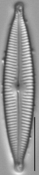 Encyonopsis Descripta 2