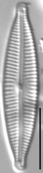 Encyonopsis Descripta 5