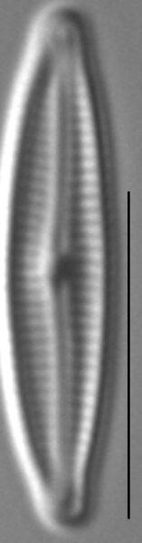 Encyonopsis Krammeri 3